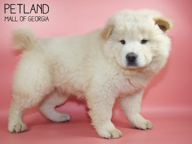 Chow Chow-Female-Cream-2756746-Petland Mall of Georgia