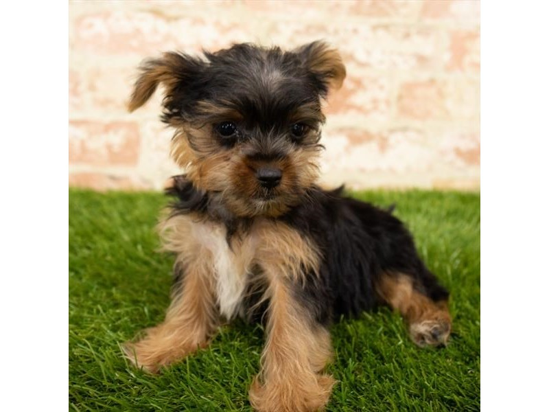 Yorkshire Terrier-Male-Black / Tan-2776156-Petland Mall of Georgia