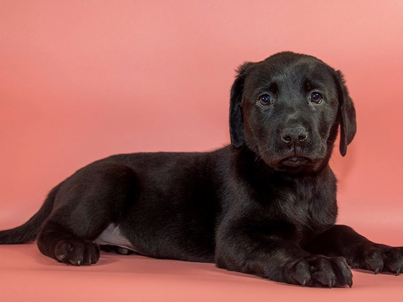 Labrador Retriever-Female-Black-2771761-Petland Mall of Georgia