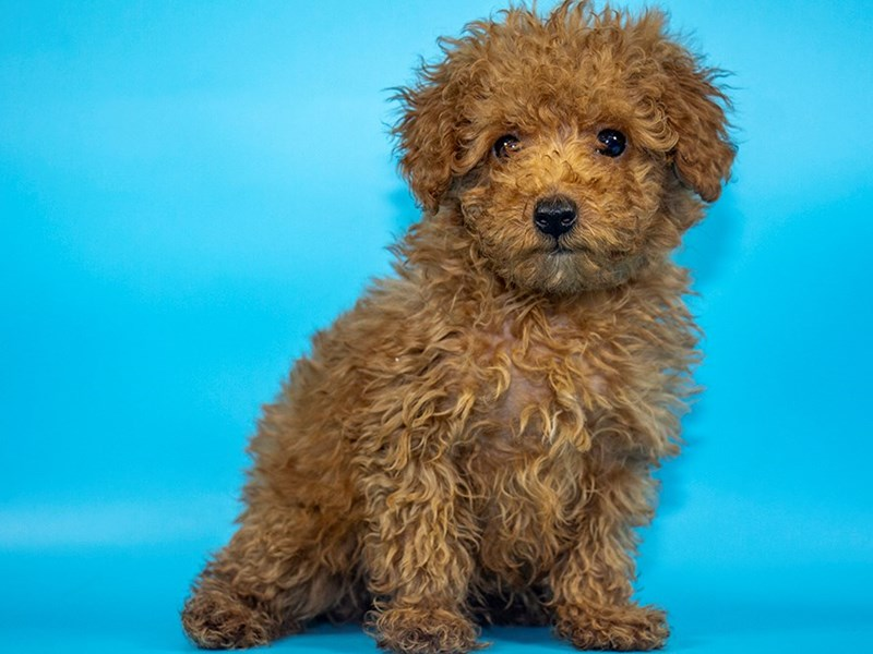 Miniature Poodle-DOG-Male-RED-2772145-Petland Mall of Georgia