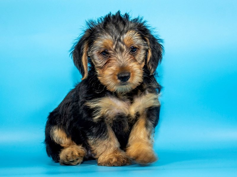 Yorkshire Terrier-Male-BLK TAN-2771668-Petland Mall of Georgia