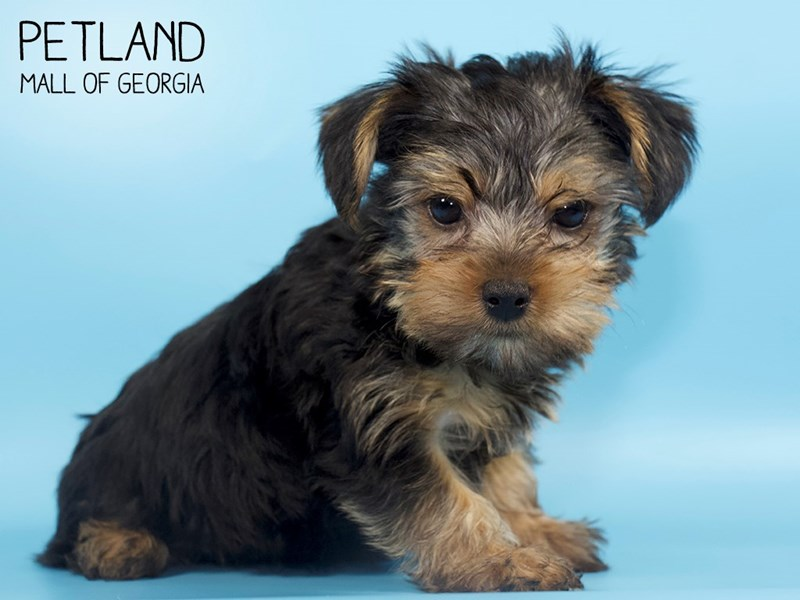 Yorkshire Terrier-DOG-Male-blk & tn-2783330-Petland Mall of Georgia
