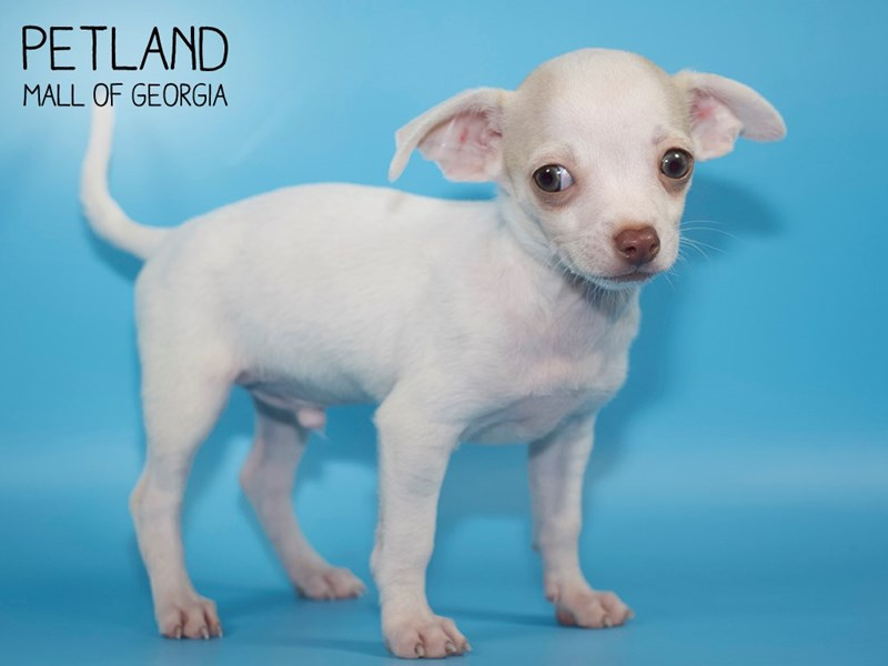 Chihuahua-DOG-Male-White and Cream-2783328-Petland Mall of Georgia