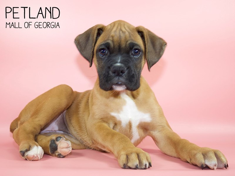 Boxer-Female-Fawn with Black Mask-2783278-Petland Mall of Georgia