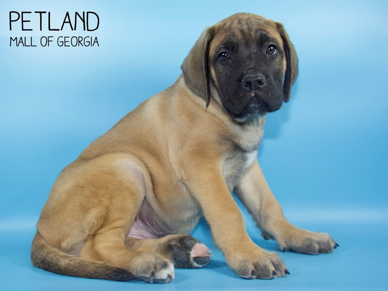 Bullmastiff-Male-Fawn Blk Mask-2783261-Petland Mall of Georgia
