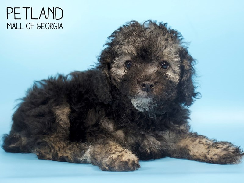 Miniature Poodle-Male-PHANTOM-2778959-Petland Mall of Georgia