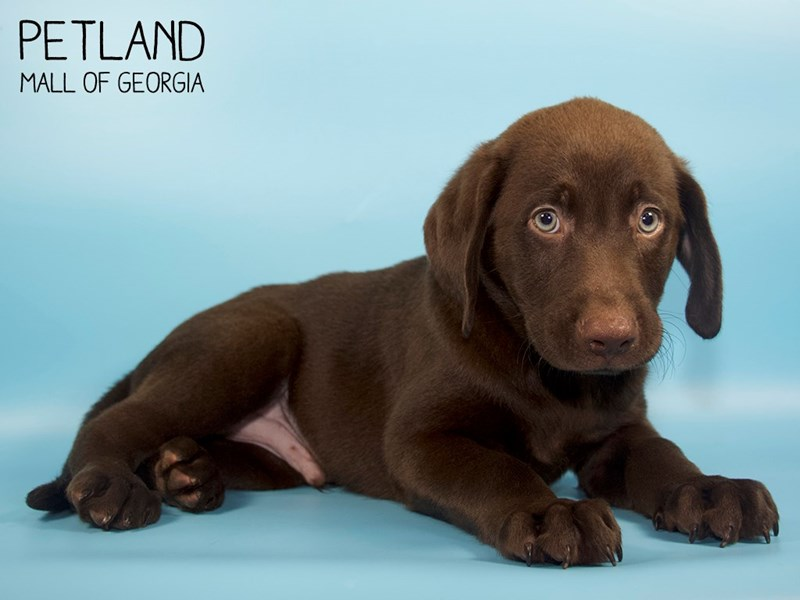 Labrador Retriever-Male-Chocolate-2779141-Petland Mall of Georgia