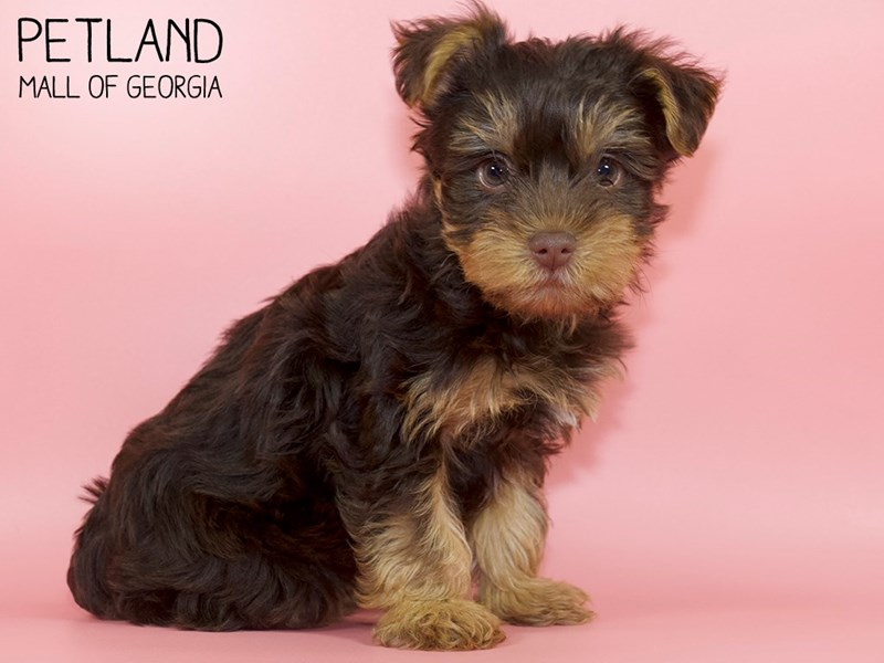 Yorkshire Terrier-DOG-Female-CHOC TAN-2786954-Petland Mall of Georgia