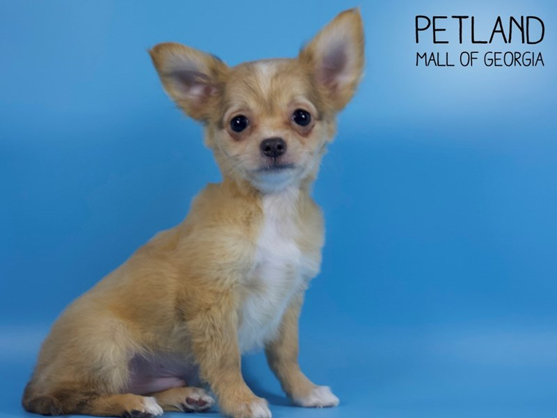 Chihuahua-Male-gld-2745204-Petland Mall of Georgia