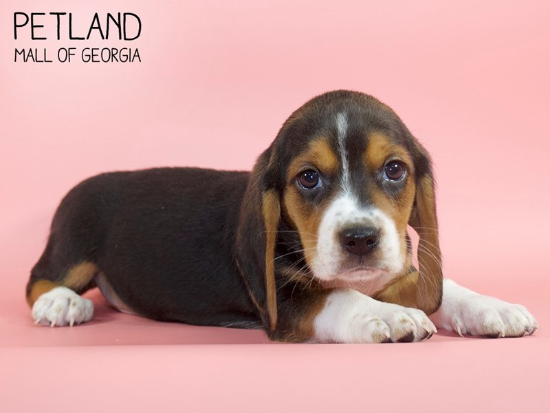 Beagle-Female-Tri-Colored-2745207-Petland Mall of Georgia