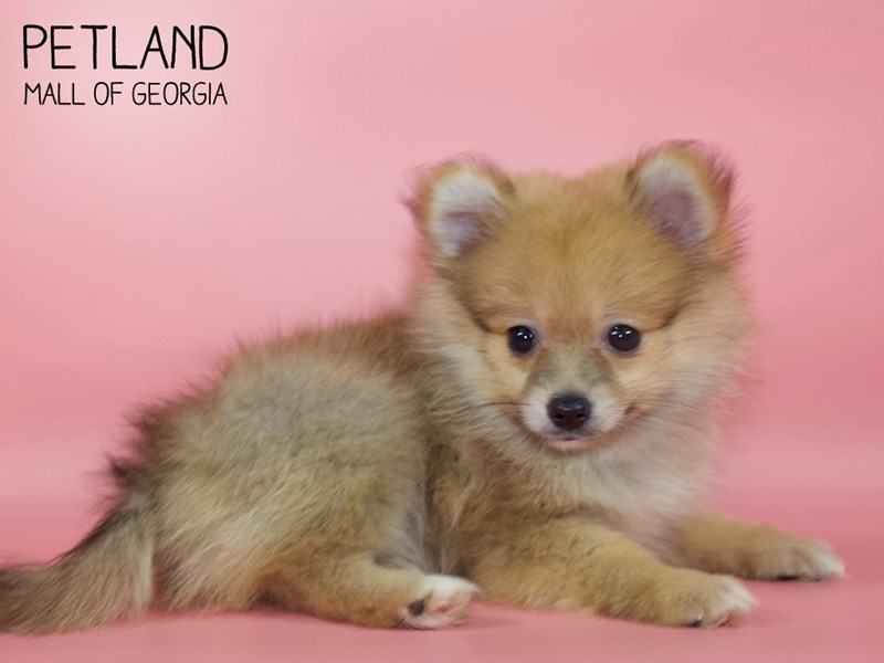 Pomeranian-Female-Orange Sable-2752786-Petland Mall of Georgia