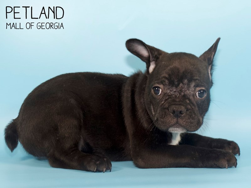 French Bulldog-Male-Black-2752783-Petland Mall of Georgia