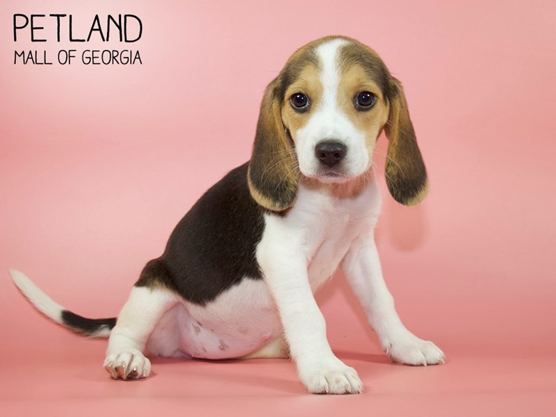 Beagle-Female-Tri-2756759-Petland Mall of Georgia