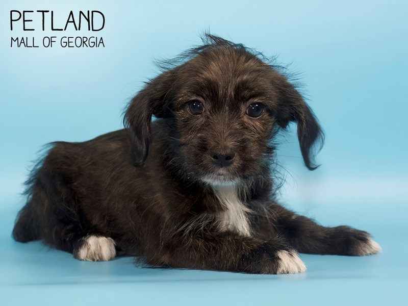 Schnoodle-Male-Black and Brown-2783360-Petland Mall of Georgia