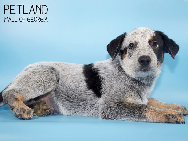 Australian Cattle Dog-Male-Black-2791128-Petland Mall of Georgia
