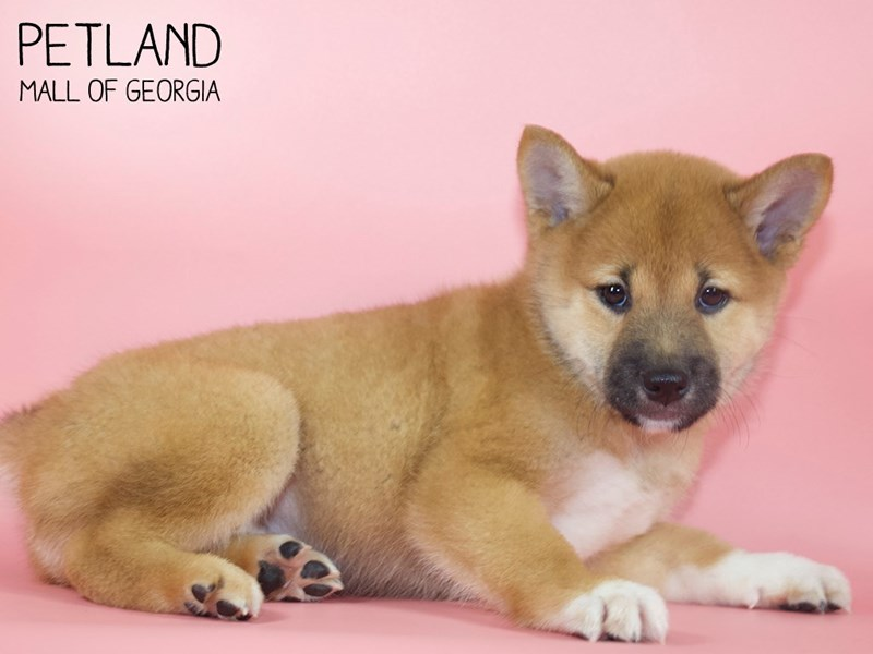 Shiba Inu-Female-Red Sesame-2791092-Petland Mall of Georgia