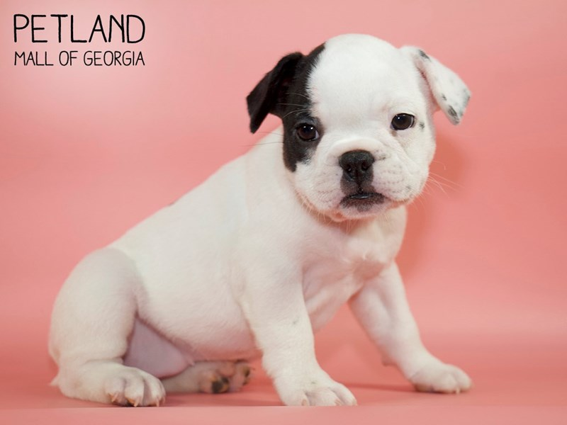 French Bulldog-Female-Black-2791091-Petland Mall of Georgia
