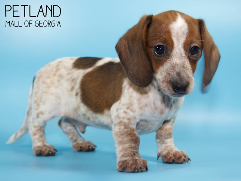 Dachshund-DOG-Male-Wild Boar-2791088-Petland Mall of Georgia