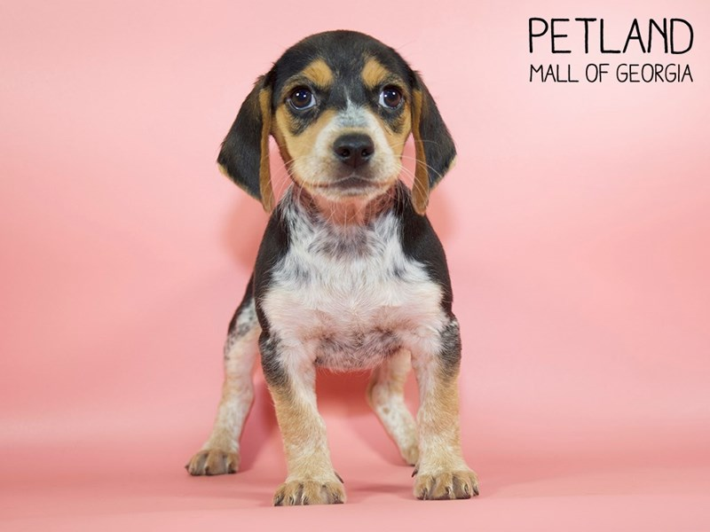 Beagle-DOG-Female-Black / Tan-2791087-Petland Mall of Georgia