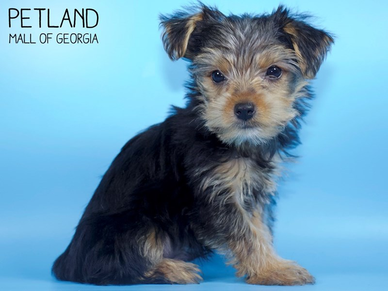Yorkshire Terrier-Male-Black / Tan-2798209-Petland Mall of Georgia