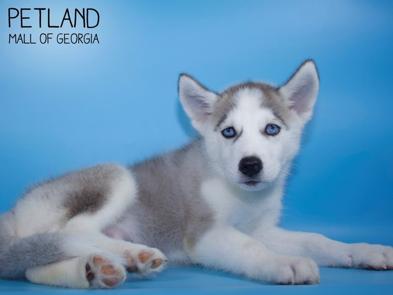 Siberian Husky-Male-Gray / White-2798208-Petland Mall of Georgia
