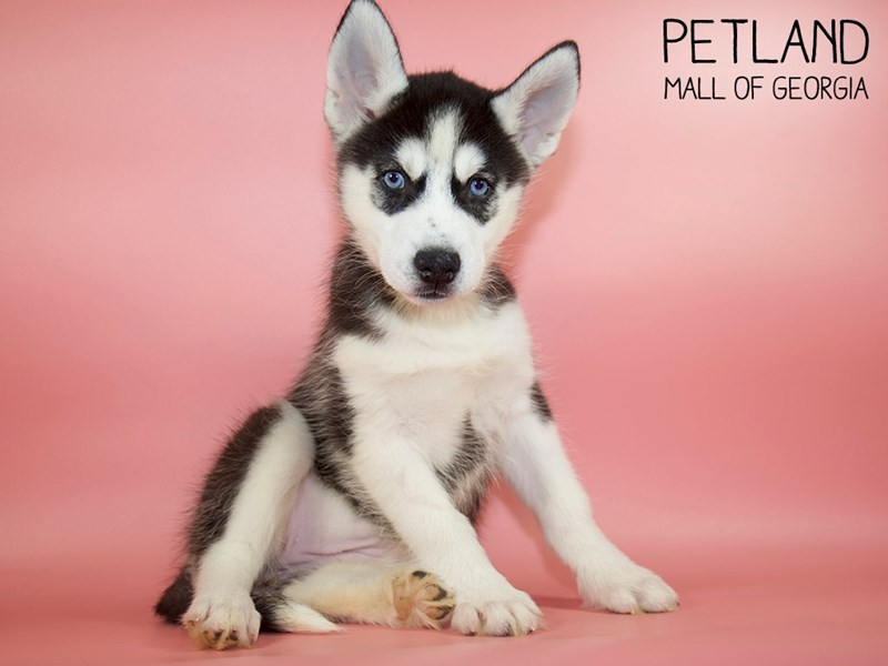 Siberian Husky-Female-Black / White-2798139-Petland Mall of Georgia