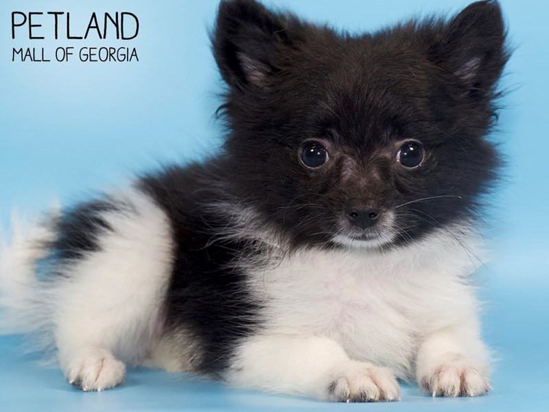 Pomeranian-DOG-Male-Black-2798130-Petland Mall of Georgia