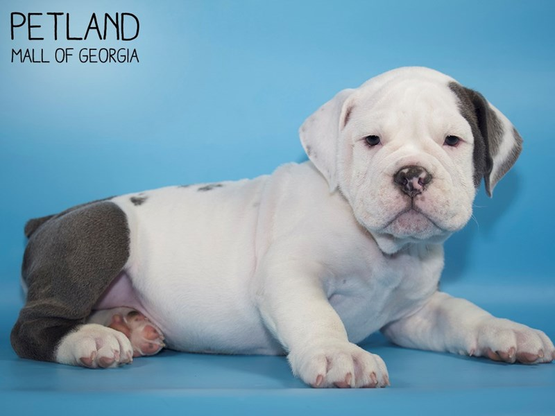 Olde English Bulldogge-Male-BLUE WHITE-2794118-Petland Mall of Georgia