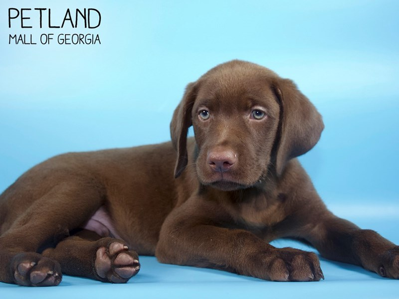 Labrador Retriever-DOG-Male-Chocolate-2794144-Petland Mall of Georgia