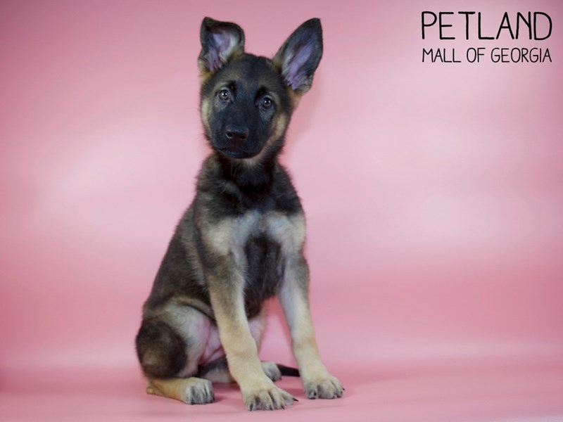 German Shepherd-Female-Sable-2786898-Petland Mall of Georgia