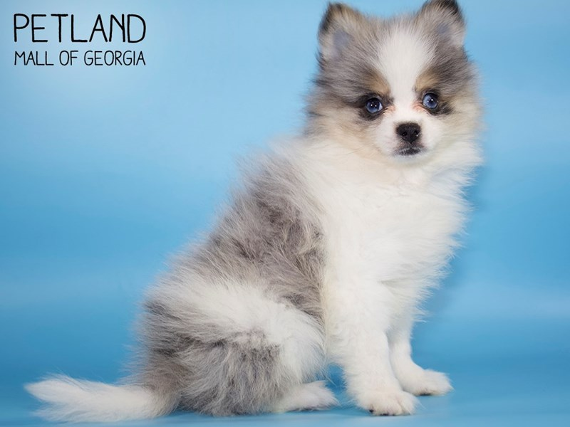 Pomeranian-Male-Blue Merle / White-2805381-Petland Mall of Georgia