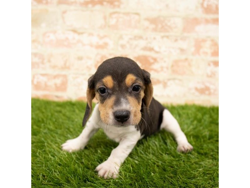 Beagle-Male-Black White / Tan-2812659-Petland Mall of Georgia