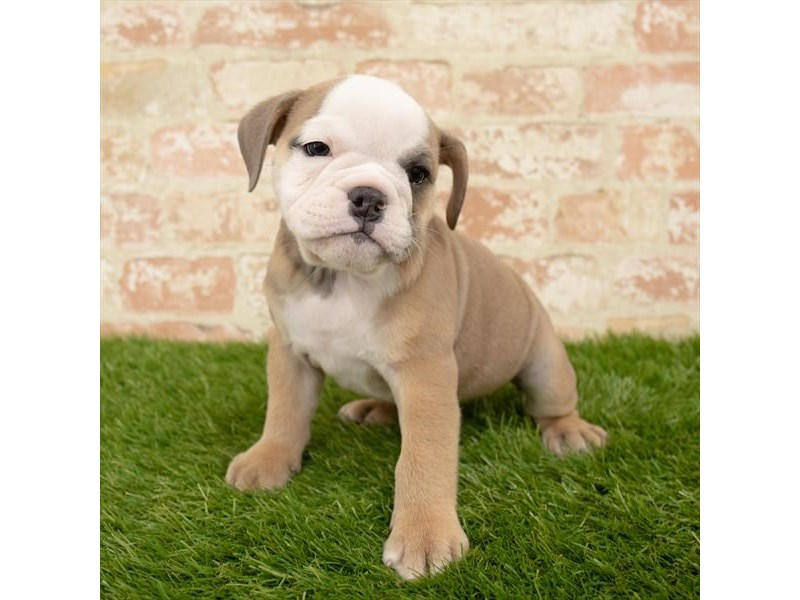 English Bulldog-Female-Blue Fawn-2812667-Petland Mall of Georgia