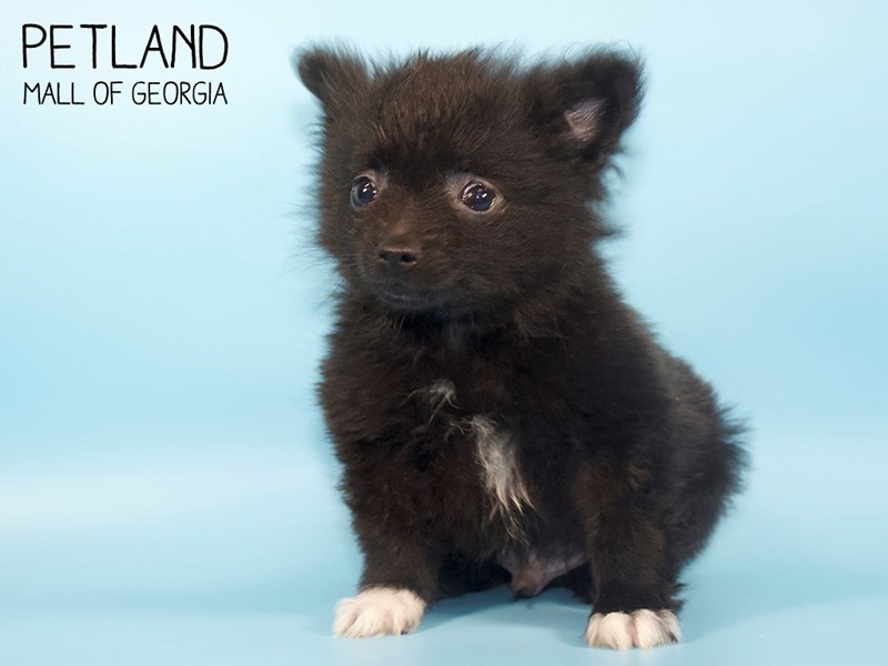 Pomeranian-Male-BLK-2748899-Petland Mall of Georgia