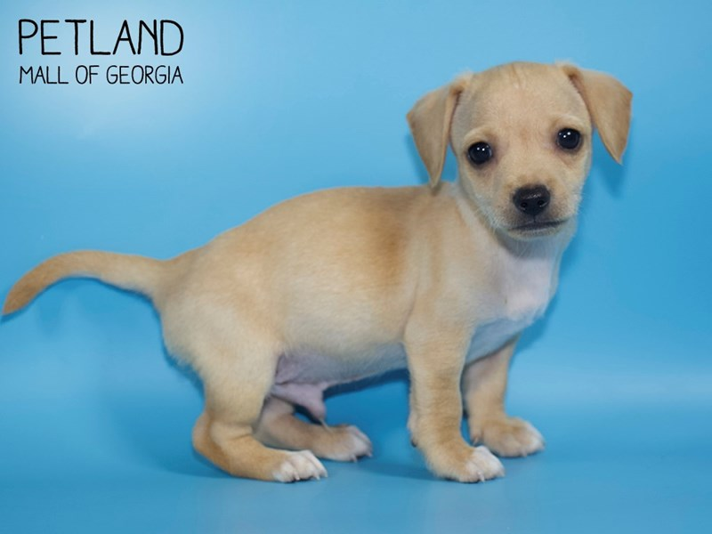 Chihuahua-Male-Fawn-2768386-Petland Mall of Georgia