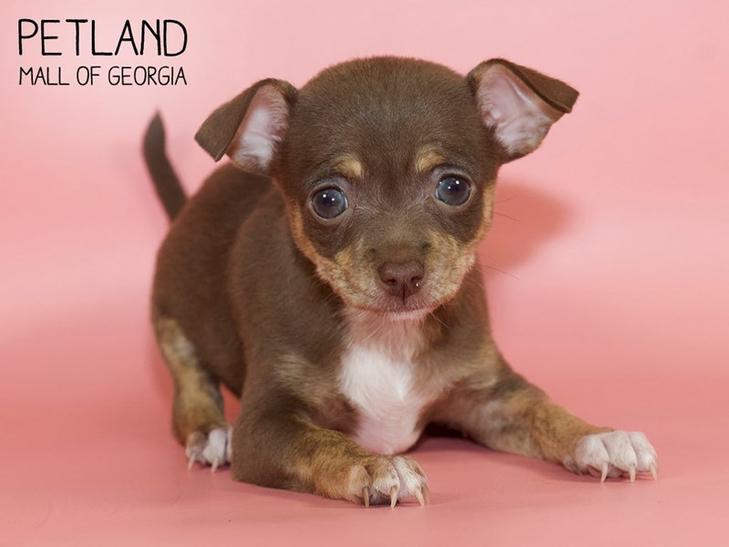 Chihuahua-Female-Chocolate / Tan-2768273-Petland Mall of Georgia