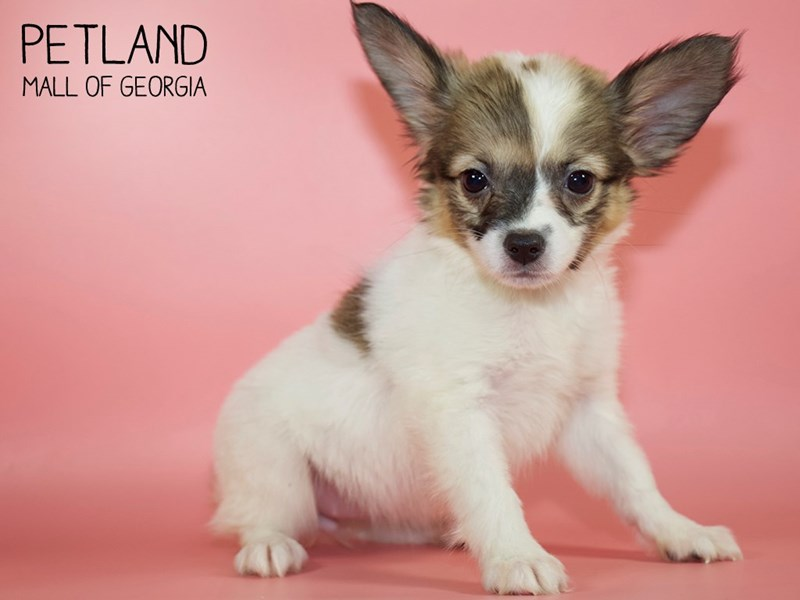 Papillon-Female-SABLE WHITE-2794226-Petland Mall of Georgia