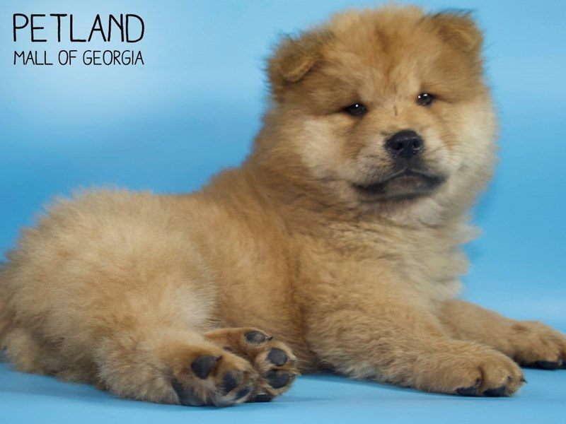 Chow Chow-Male-Red-2812671-Petland Mall of Georgia