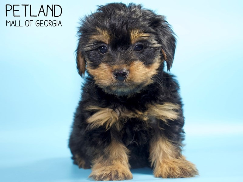 Yorkshire Terrier-Male-Black / Tan-2821013-Petland Mall of Georgia