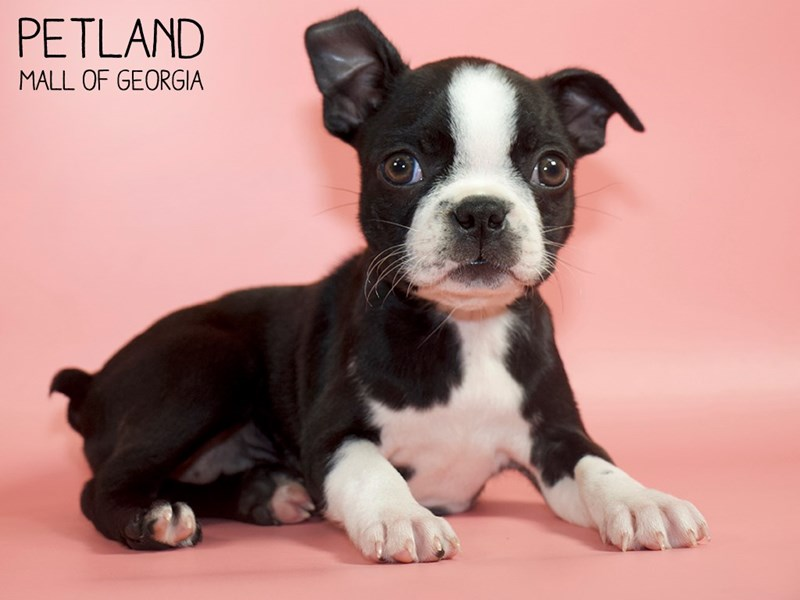 Boston Terrier-Female-Brindle / White-2821009-Petland Mall of Georgia