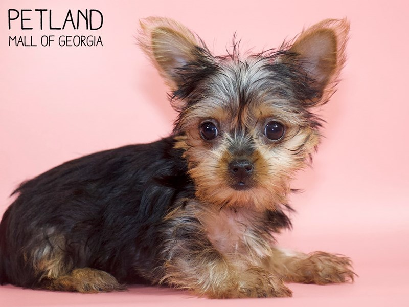 Yorkshire Terrier-Female-Black / Tan-2821001-Petland Mall of Georgia