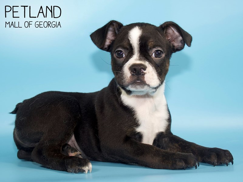 Boston Terrier-Male-Black / White-2828731-Petland Mall of Georgia