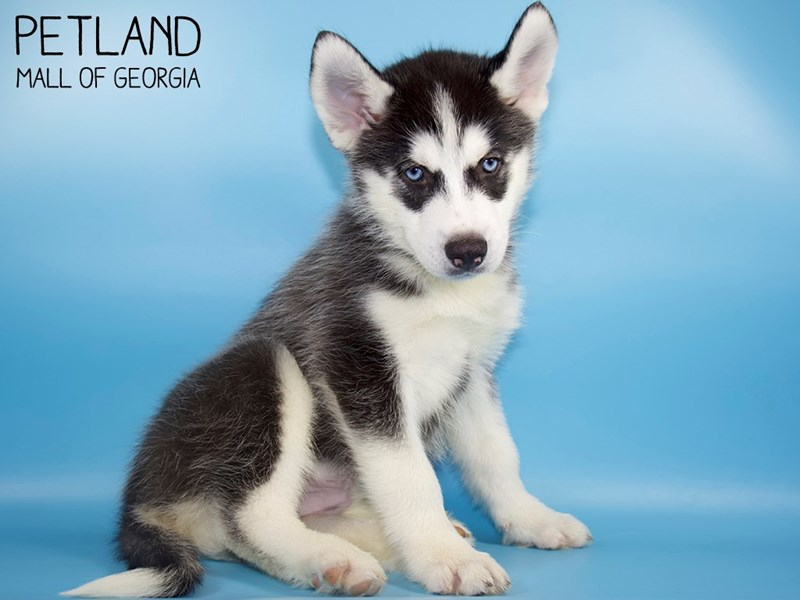 Siberian Husky-Male-Black / White-2828729-Petland Mall of Georgia