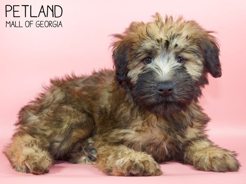 Soft Coated Wheaten Terrier-Female-Wheaten-2828730-Petland Mall of Georgia