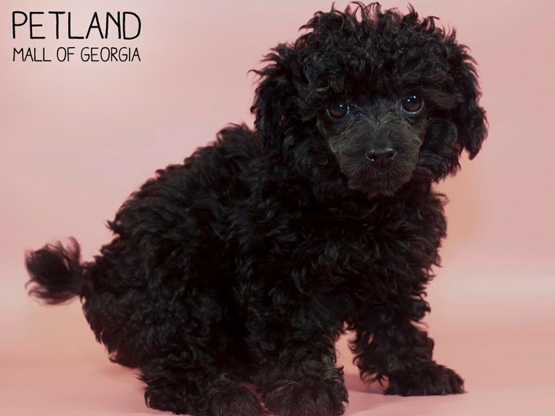 Miniature Poodle-Female-Black-2835669-Petland Mall of Georgia
