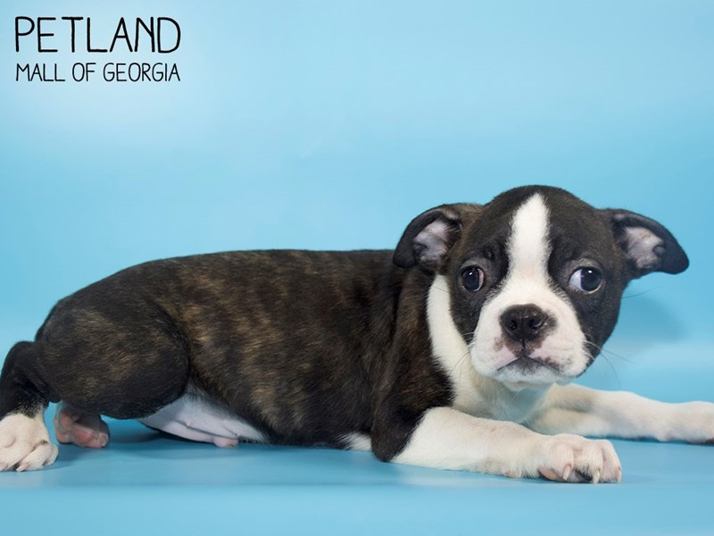 Boston Terrier-Male-BLK WH-2832980-Petland Mall of Georgia