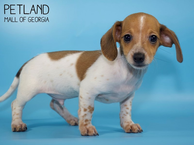 Dachshund-Male-RED WH-2833016-Petland Mall of Georgia