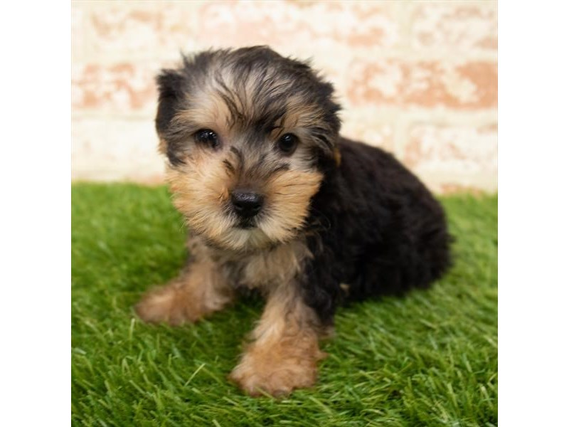 Yorkshire Terrier-Male-Black / Tan-2850680-Petland Mall of Georgia