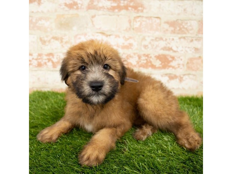 Soft Coated Wheaten Terrier-Male-Wheaten-2850681-Petland Mall of Georgia