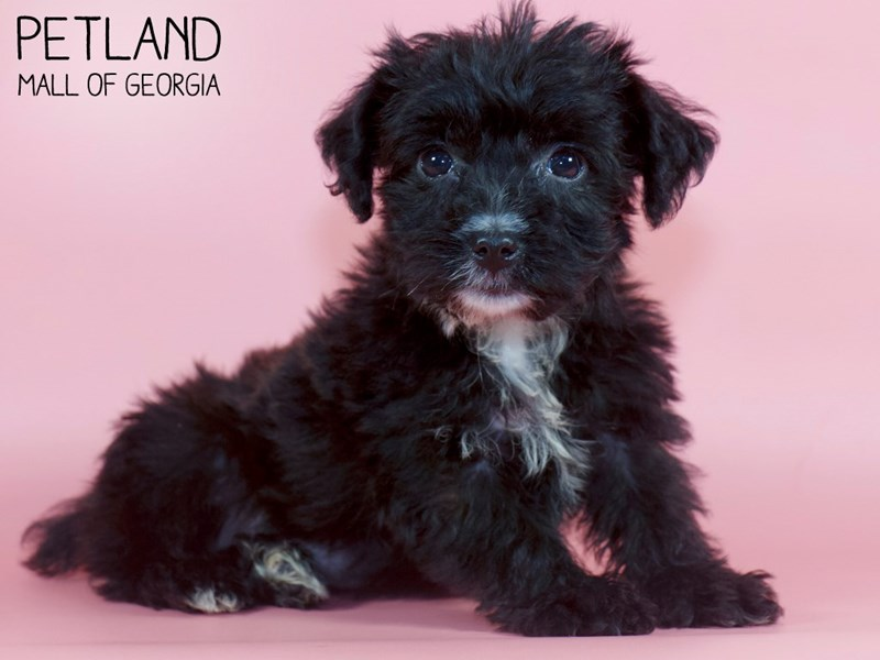 Yorkiepoo-Female-Black-2880006-Petland Mall of Georgia